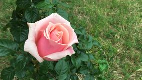 Spring rose growing in family garden time lapse stock video footage