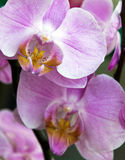 Spring rose orchid blossom Stock Images