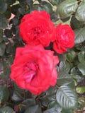 Spring Rose Royalty Free Stock Image