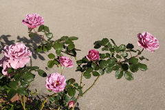 Spring roses growing in family garden Stock Photography