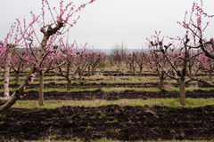 Spring rosy blooming peach garden alley Stock Photography
