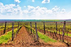 Spring Rows of Vineyard Grape Vines royalty free stock photos