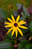 Spring Rudbeckia fulgida Goldsturm nature morning blur Stock Image