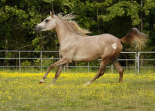 Spring Run. Two year old Arabian colt running in field Stock Image