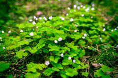 Spring in the Russian forest, the first white flowers Oxalis, green background, cones, soft-focus, blur, moire. Spring in the Russian forest, the first white stock image