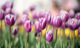 Spring's first crocus flowers Stock Photos