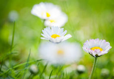 Spring's flowers. Royalty Free Stock Photos