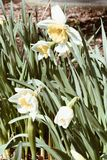 Spring Essential Narcissus. The spring`s flowers  of daffodils on a warm Sunday in a park.Selective fokus.Blurred background Royalty Free Stock Images