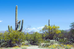 Spring in the Saguaro National Park, Arizona Stock Photo