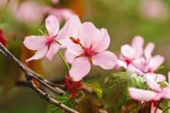 Spring sakura Stock Images