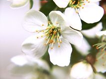 Spring sakura Stock Photos