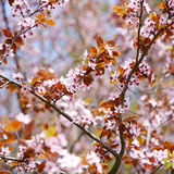 Spring sakura blossom Stock Photos