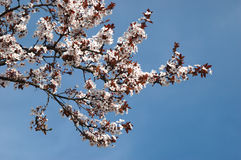 Spring sakura blossom closeup Royalty Free Stock Images
