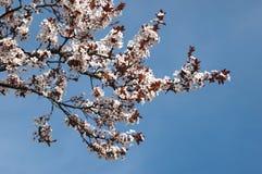 Spring sakura blossom closeup Royalty Free Stock Images