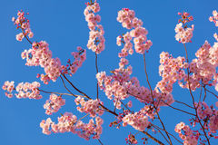 Spring sakura blossom Royalty Free Stock Photos