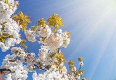Spring sakura blossoms with white flowers and shining sun Stock Images