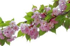 Spring sakura branch Stock Photography