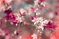 Spring Sakura Cherry blooms, early spring with bokeh Stock Photography