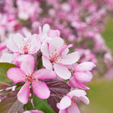Spring Sakura Cherry Blossom Royalty Free Stock Image