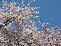 Spring Sakura. Light pink cherry blossoms flowers blooming in spring time against the clear blue sky in Tokyo, Japan royalty free stock images