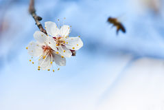 Spring sakura cherry-tree flowers with nice little Stock Photos