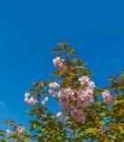 Spring sakura flowering Stock Image