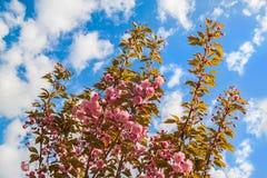 Spring sakura flowering Royalty Free Stock Image