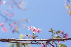 Spring Sakura Pink Blossom In Chiangmai, Thailand. Royalty Free Stock Photo