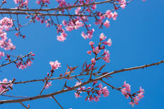 Spring sakura pink blossom in Chiangmai, Thailand. On sky background Royalty Free Stock Image