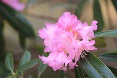 Spring sakura pink flower Stock Images