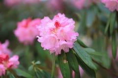 Spring sakura pink flower Royalty Free Stock Photography