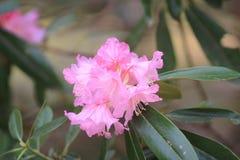 Spring sakura pink flower Royalty Free Stock Image