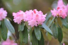 Spring sakura pink flower Royalty Free Stock Photo