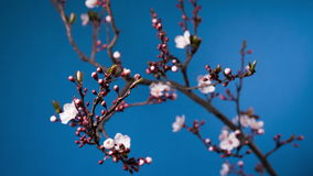 Spring sakura pink flower blossoming branch stock footage