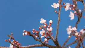 Spring sakura pink flower blossoming branch