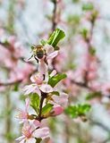 Spring scene with a bee Royalty Free Stock Images