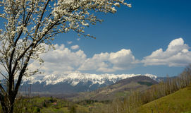 Spring scene with blossom tree. White blossom tree and mountains landscape. Springtime in Transylvania Alps Royalty Free Stock Photography