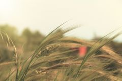 Spring scene with wild plants. Spring scene with wheat spikes and wild plants Stock Photography