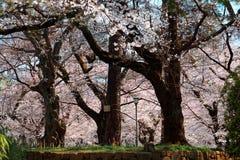 Spring scenery of giant cherry blossom Sakura trees under sunlight on a bright sunny day in Omiya Park, Saitama, Japan. ! Beautiful scenery of Japanese royalty free stock images