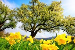 Spring scenery with yellow daffodils in the foreground stock photos
