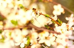 Spring scenes, including blooming flowers, cherry Royalty Free Stock Photo