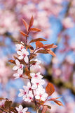 Spring scenic with plum blossoms Stock Images