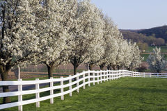 Spring Season Bloom. Row of Dogwood Trees blossoming in spring season Stock Photography