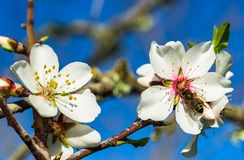 Free Spring Season, Blooming Fruit Tree Blossoms With Bee Collecting Pollen Stock Image - 132581021