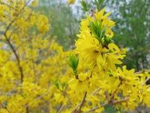 Spring season blossom yellow tree. Spring blossom tree stock photography