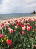 Spring season with colorful tulips front of Garda lake, Italy Royalty Free Stock Photo