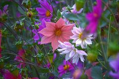 Dahlias. Spring season dahlias in full bloom stock photos