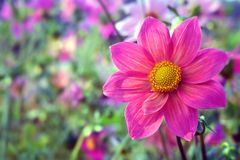 Dahlias. Spring season dahlias in full bloom royalty free stock photo