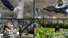 Spring season garden works. Woman gardener. Video clips collage. Gardener whitening tree trunk. Fruiter prune. Woman uncover rose plant. Flower bed weeding stock footage