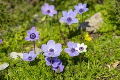Free Spring Season; Wild Flower; Anemone Anemone Coronaria Royalty Free Stock Images - 140411079